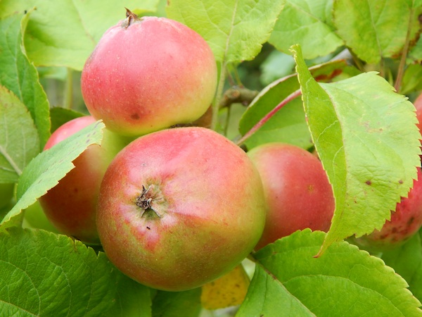 SAYR0022-unnamed-apples-small