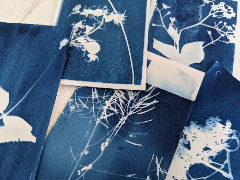 Cyanotypes blue and white photograms of plants