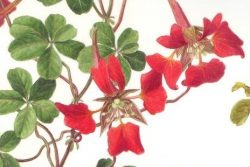 watercolour drawing of a orange red climbing flower