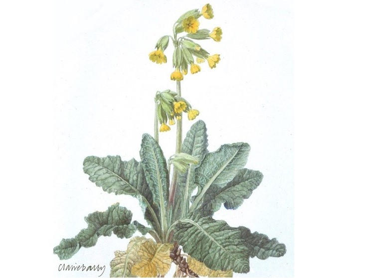 Watercolour painting of a cowslip, a yellow flower