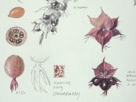 Sketchbook drawings of a seed head and plant