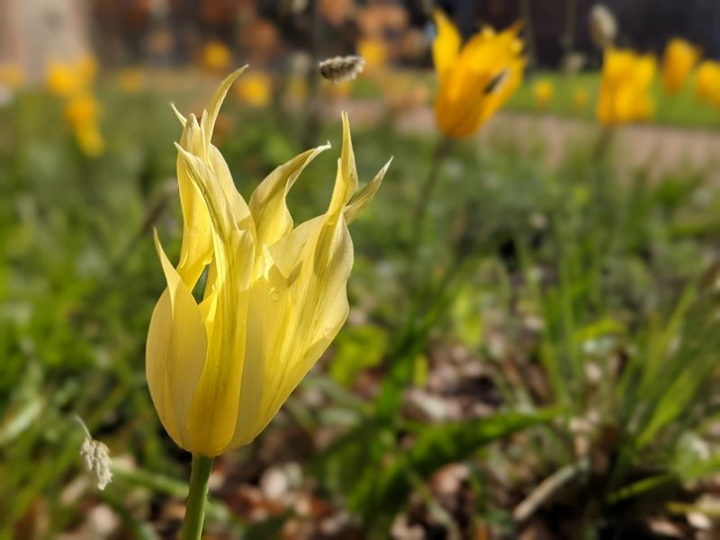A yellow tulip in front of blurred green garden background