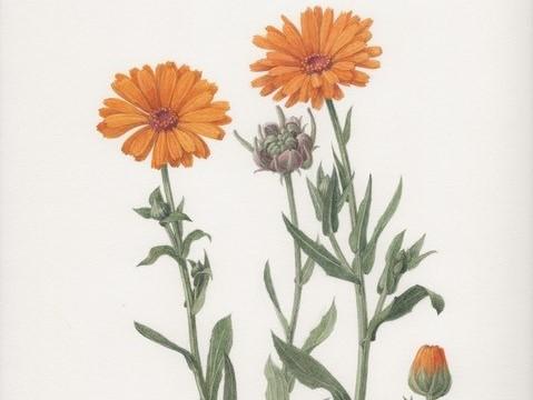 Watercolour painting of Calendula officianalis an orange flower