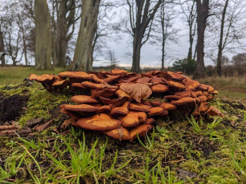 a orange yellow coloured mushroom in grass