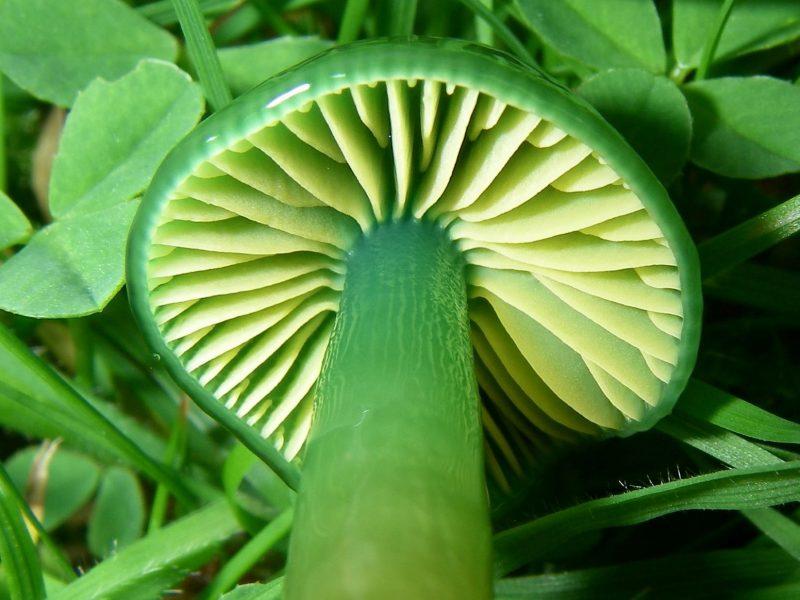 Shiny green mushroom sitting amongst grass