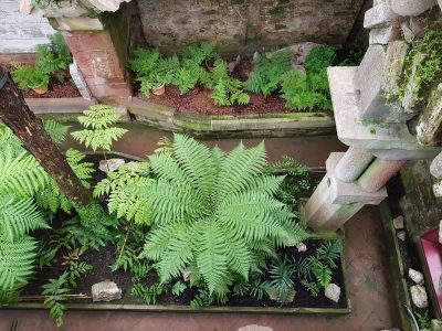 A picture of large fern plants in a glasshouse